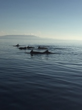 short finned whales spotted off Doljo Beach Panglao