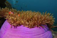 anemone bunch