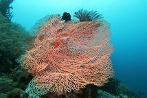 beautiful sea fan