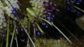 camou-shrimp