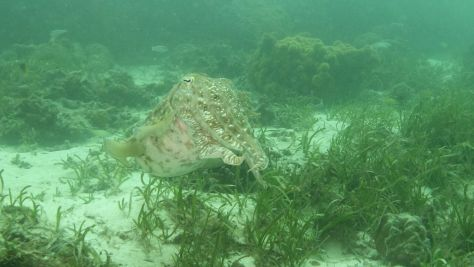 giant-cuttlefish