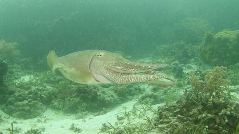 gliding cuttlefish