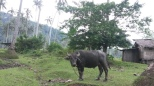 carabao along the way