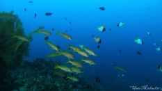 fusiliers and butterfly fishes