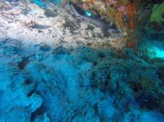 juvenile blacktip shark in maasim Reef