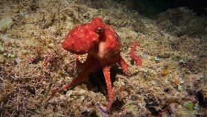 common octopus at night