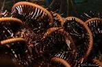 Crinoid Shrimp
