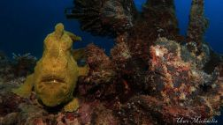 2 giant frogfish