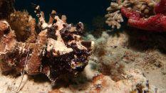 Antennarius commerson