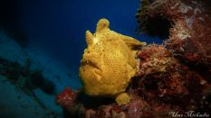 giant frogfish3