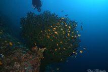 green fan coral