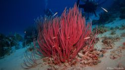 horsetail whip coral