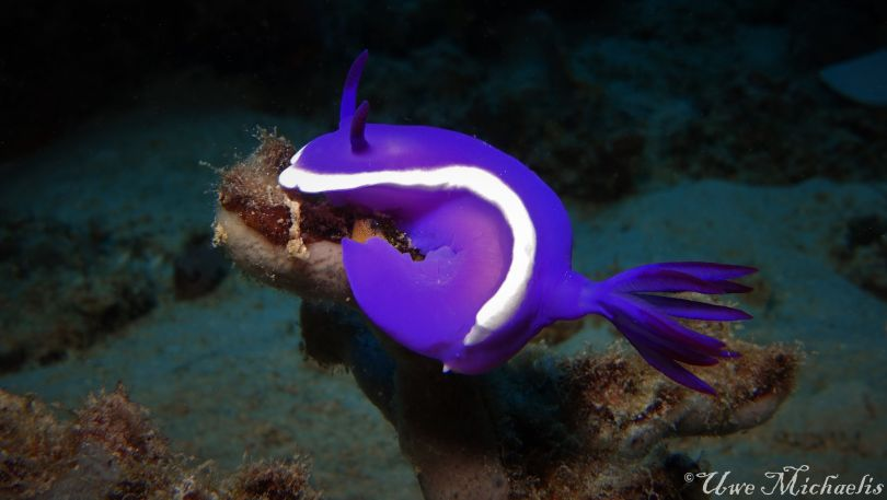 Purpple Hypselodoris