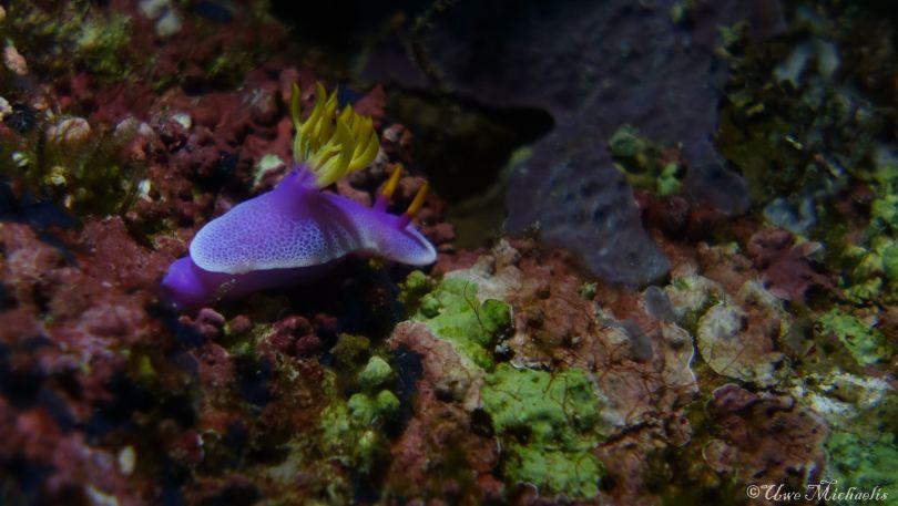 Purple Hypselodoris