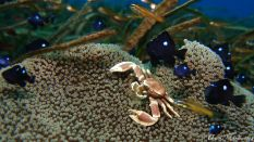 porcelain crab in an anemone and damsel fish