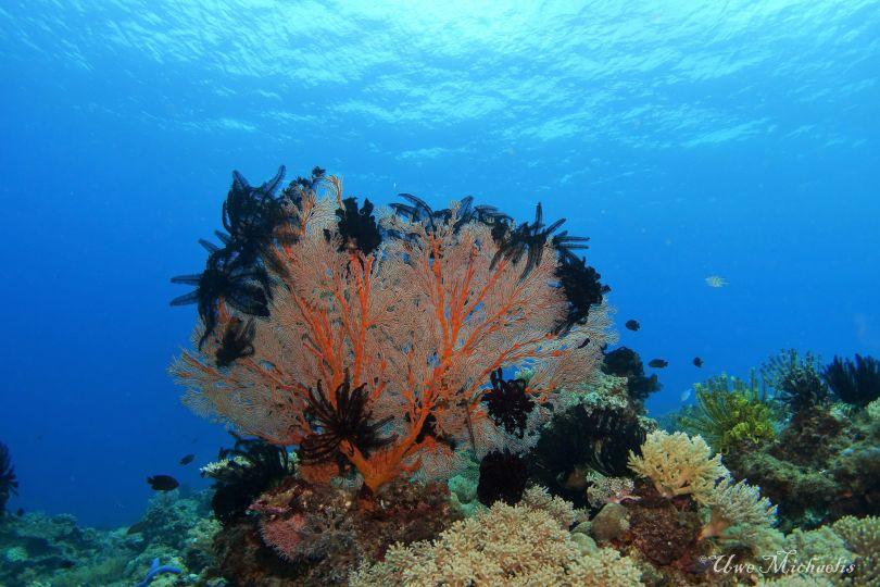black featherstars partying in a fan coral