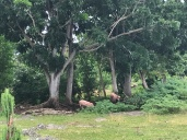 backyard pigs in the village