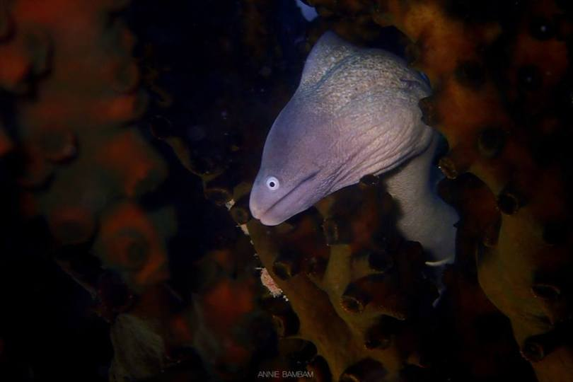 curious mooray eel
