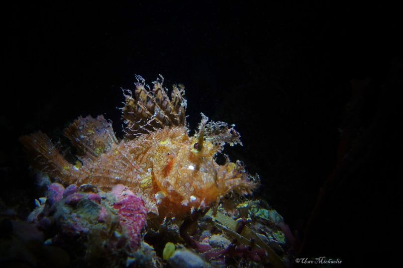 Rhinopias Frondosa at night