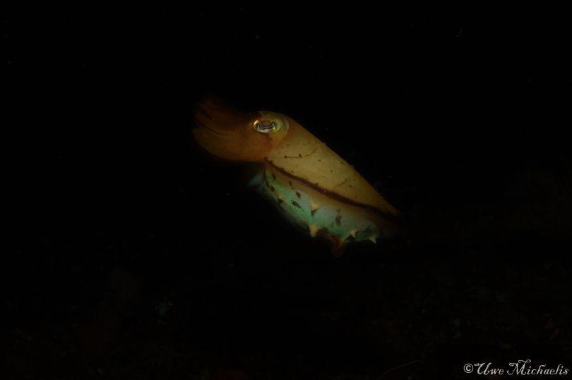 juvenile cuttle fish