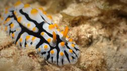 nudi dorid yellow