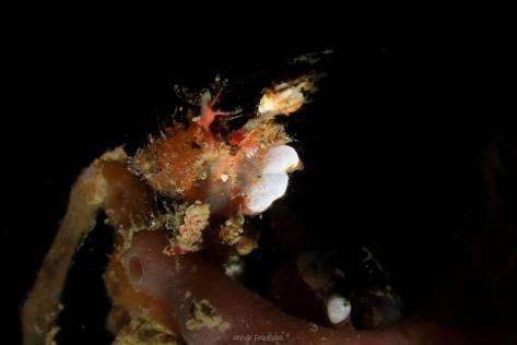 pompom crab
