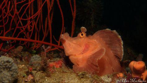 Paddle Flap Scorpionfish / Rhinopias eschmeyeri