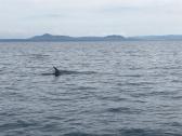 Rissos Dolphin fin