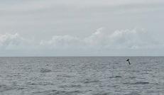 Rissos Dolphin Tail
