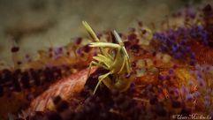 yellow shrimp on a fire urchin
